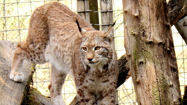 Luchs im Zoo in Haag