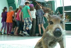 Wildschwein-Präparat im Landesmuseum Niederösterreich