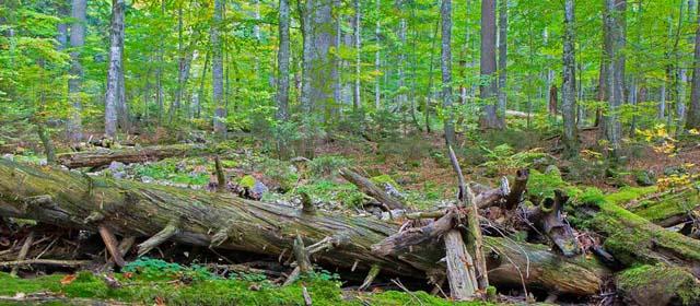 Altholz im Wildnisgebiet Dürrenstein