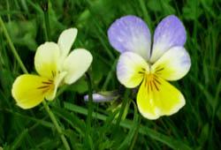 Blumen im Nationalpark Thayatal