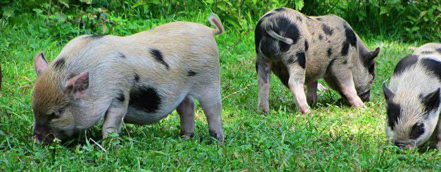 Schweinchen im Wildpark Untertauern